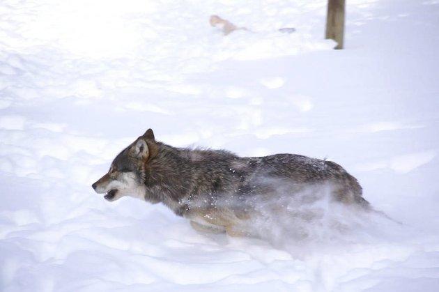 Del godene: Vi får vel unne ulvene et par godbiter og heller sørge for at sauene overlever bøndenes skjøtsel.