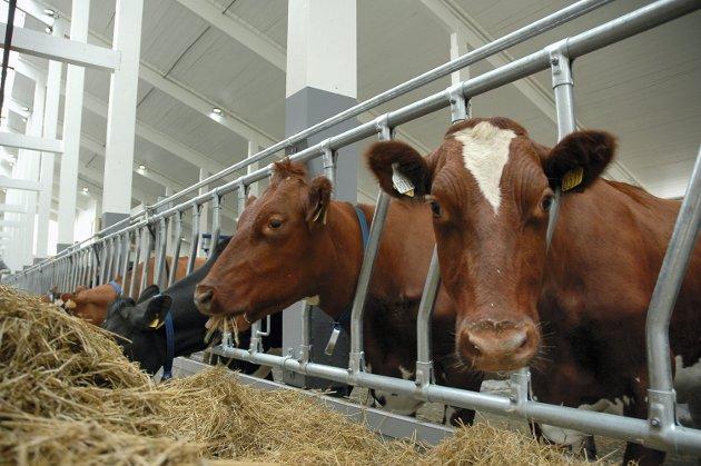 KUMJØLK: Tine er markedsregulator for mjølk, og er forpliktet blant annet til til å hente, motta og distribuere mjølk fra garder over hele landet.