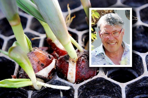 TIPS: «Legg løken treukers tid i kjøleskapet før de settes ut i jord i potter», skriver Finn Schjøll.