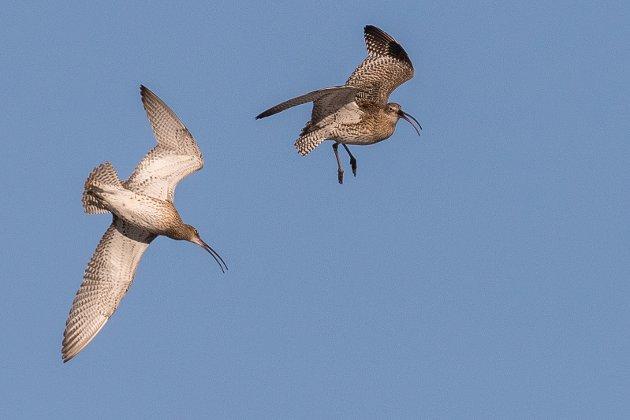 Storspove er en truet art- som hekker på Sørfinnset i Gildeskål