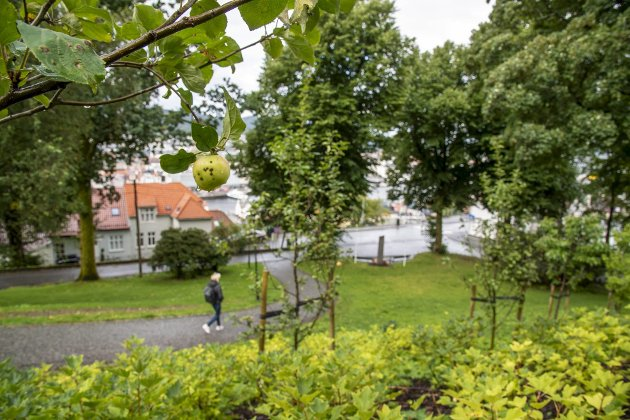 – I de siste par årene er det faktisk plantet ut mange frukttrær og bærbusker. Er Bergen i ferd med å bli en edens hage? FOTO: EIRIK HAGESÆTER