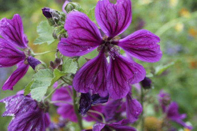 MALVA: Dekorativ og slimløsende urtemedisin.