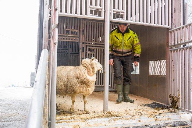 ALENE: Denne sauen ble stående igjen alene, da båsen ble for full. Men om litt skal matfar Johan Kopland sørge for at flokkdyret igjen får selskap.