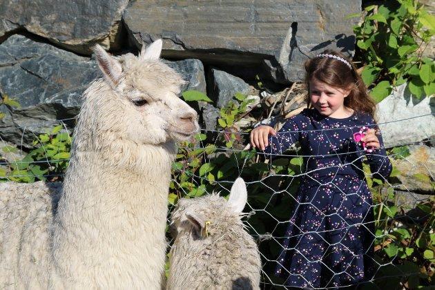 Alpakkaene flytta inn i Soldalen for få dagar sidan. Det var ein populær attraksjon. Dei to damene er forhåpentlegvis drektige, og vil då få ungar neste år.