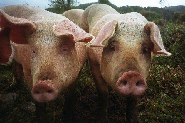 Det er overproduksjon av svinekjøtt.