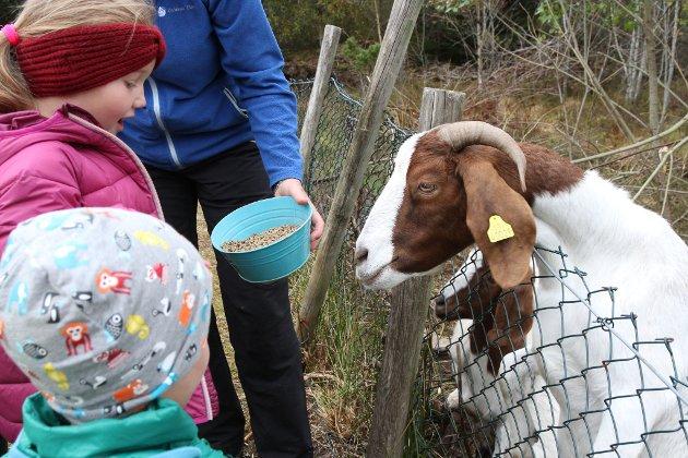 – Endeleg, kom no hit med godsakene! Geitene ved barnehagen er av typen boergeiter, som har godt lynne.