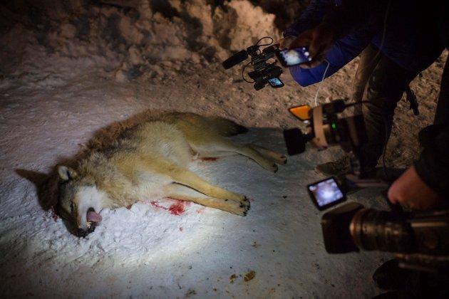 ULVEBESTAND: – Atle Hamar sier i oppslagene at Regjeringen følger ulveforliket fra 2016 «til punkt og prikke»! Han påstår også at registrert ulvebestand er 4,5 ynglende flokker per dags dato. Alt bidrar til forvirring og til å forlede befolkningen ved å bruke uoffisielle og ufullstendige tellinger, skriv Gunnar A. Gundersen i Glommen Skog. Bildet viser ulven som blei felt i Naustdal i 2014.