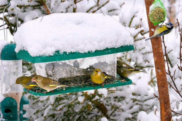 TRENGER HJELP: Flere fuglearter sliter med å overleve vinteren.