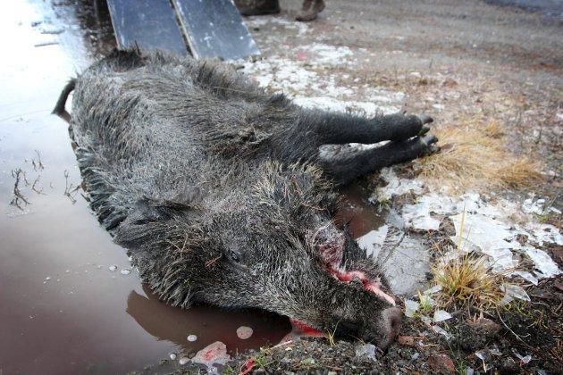 ADVARER: Emile Enger Mehl advarer sterkt mot at villsvin får etablere seg i norsk natur.