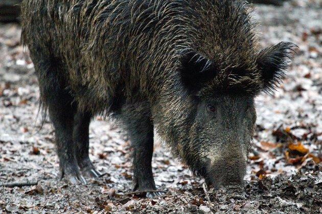 Veterinærforeningen er bekymret for dyre- og folkehelsen hvis det ikke settes i gang strakstiltak mot villsvin