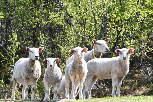 Fredelig: Mens Gudbrandsdalen har hatt en rolig beitesesong, må andre avvikle på grunn av rovdyrskader.
