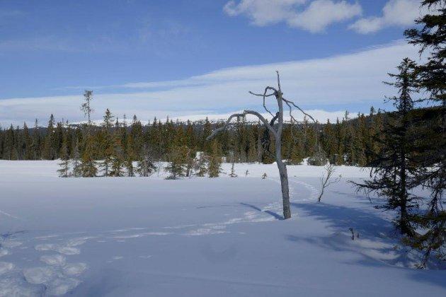 - Disse trærne er en del av Gropmarkas egenart, og nå er selveste «veiviseren» ved Tretjerna skamfert, skriver venner av Gropmarka.