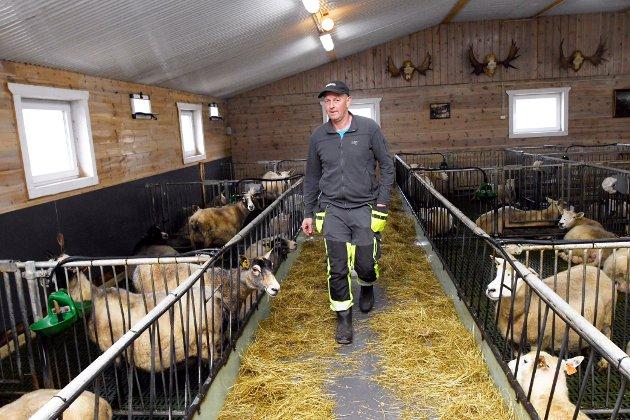 Thorstein Åmodt har henta dyra hjem fra fjellet, etter store tap til jerv.