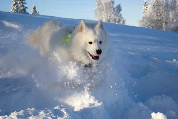 Samojeden vår Shintu i full fart i snøen.