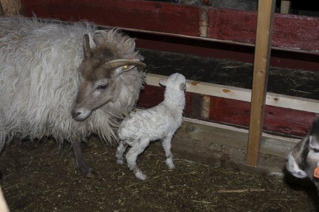 Nye lam har kommet til på Sjøbakken i år