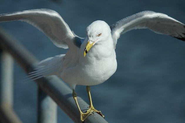 TOLERANSE: Flere av artene er i tilbakegang på grunn av alvorlig matmangel i havet, overfiske, utbygging og annen menneskelig aktivitet, skriver artikkelforfatteren.