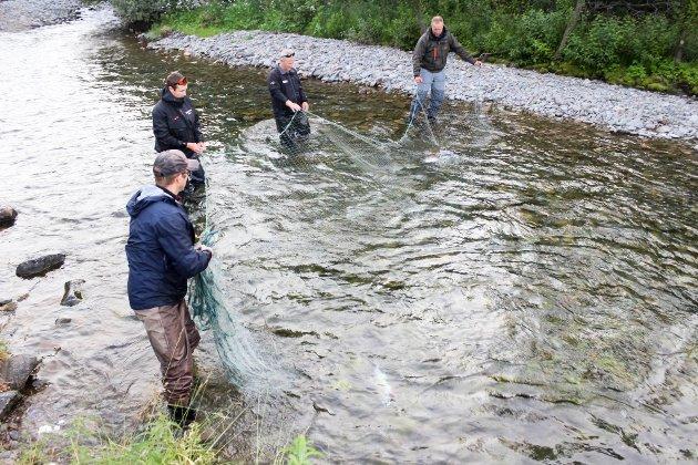 Frivillige i Kåfjord jeger- og fiskerforening leder pukkellaksen ut av Botnelva med garn.