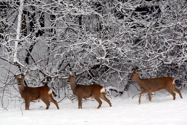Når snøen er dypere enn dette, så sliter disse dyra med løshunder.