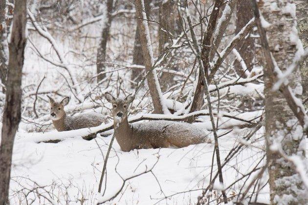 Dyr i snøen