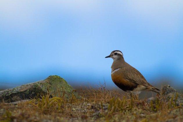 Boltit, en vadefugl som hekker i fjellet