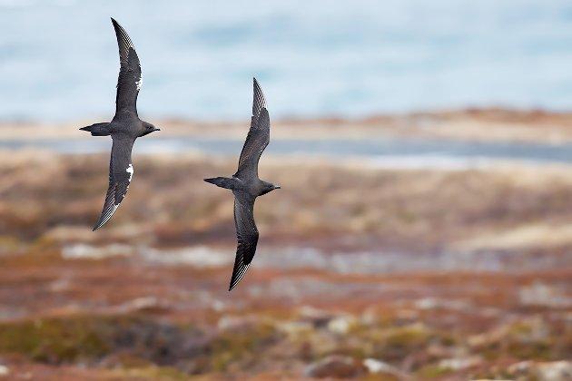 Slank, smidig og rask: Tyvjoen er havets pirat, og den stjeler fisk fra andre sjøfugler som fiskemåke, krykkje og rødnebbterner. Dessverre har bestanden gått mye tilbake også i Lofoten.