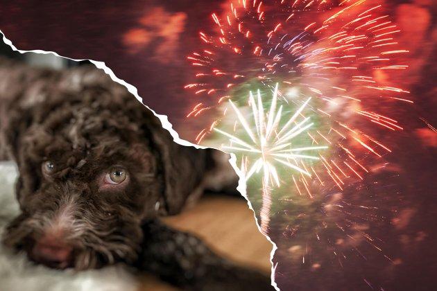 Det antas at 50% av alle hunder har en form for lydsensitivitet eller lydfobi. I en studie fra NMBU der hunder ble presentert for flere høye lyder, var lyden av fyrverkeri det som skapte størst frykt, skriver Siri Martinsen.
