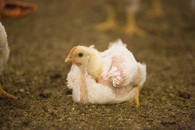 Kyllingen Ross 308 lider fordi den er avlet til å ha abnormt rask vekst – så rask at de små kyllingene kan få både beinproblemer og hjerteproblemer som konsekvens. På tross av disse kjensgjerningene fortsetter Den Stolte Hane å produsere hurtigvoksende kyllinger, skriver Dyrevernalliansens Live Kleveland.