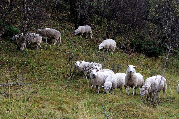 VERDIFULLE UTMARKSBEITER: Norge er blant de landene i Europa hvor beiteressursene i utmark betyr mest for landets matproduksjon. Kun 3 % av Norges fastlandsareal er jordbruksareal. Dette er den laveste andelen for noe land i Europa. Samtidig har Norge gode utmarksbeiter av høy kvalitet på 45 % av fastlandsarealet og det aller beste ligger i Troms, skriver Tone Rubach.