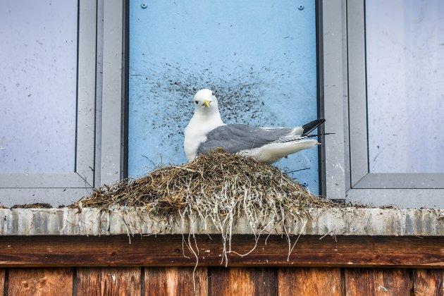 Puslete tiltak av typen sikrere søppelbokser og oppfordringer til folk om å unngå søl av matrester i gatene har liten effekt. Fuglene må på en eller annen måte hindres i å bygge reir på tak og i vinduskarmer, skriver Tor Dahl-Eriksen.