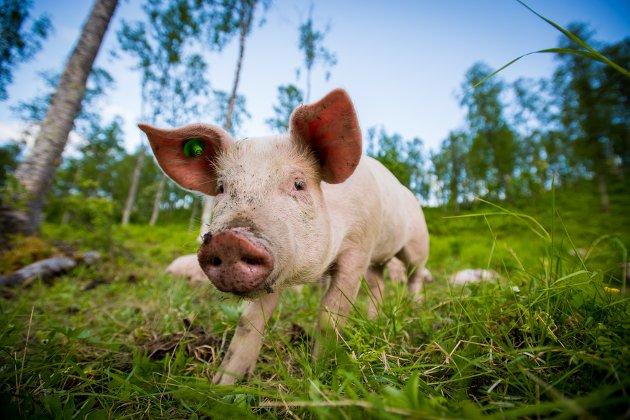 DYREVELFERD: Skogsgrisene i Målselv Mat får både beiter og vandrer ute i frisk natur, både langs bekker og i skog. Dyrevelferd en viktig del av bedriftens verdigrunnlag.