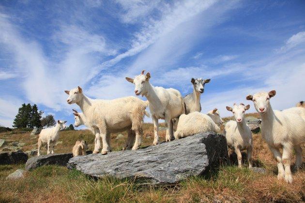 VERDI: Husdyrbeite sikrer verdifull natur i verneområdene.