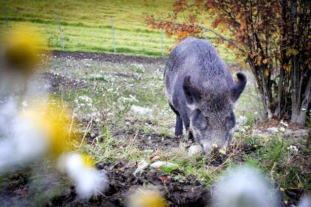 ER TILBAKE: Villsvin er på plass i norsk natur igjen. Mange mener vi må ta det på alvor.