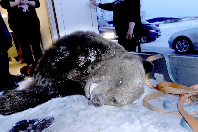 BJØRNEJAKT: Jegere fra Statens Naturoppsyn jakter nå etter bjørn i Hattfjelldal, men værgudene spiller ikke på lag med jegerne. Bildet viser en bjørn som ble felt i Hattfjelldal i 2012. Foto: Håmund Ivarrud