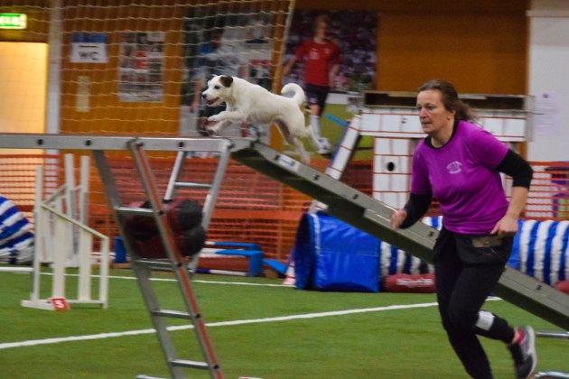 Full fart i limtrehallen. I helga ble moelvstevnet i agility og hopp arrangert for 28. gang i Moelv. 250 deltakere med sine hunder samlet seg for ei aktiv helg i Moelv.