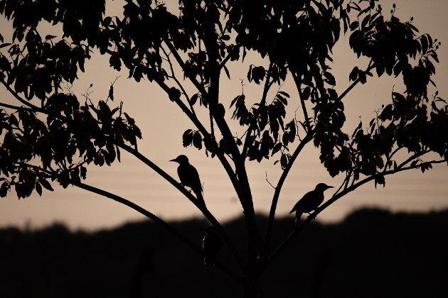 MASSEDØD: 1. januar 2011 falt rundt 5.000 døde fugler ned over byen Beege i Arkansas, skriver Jenny Rolness i Dyrenes Rett
