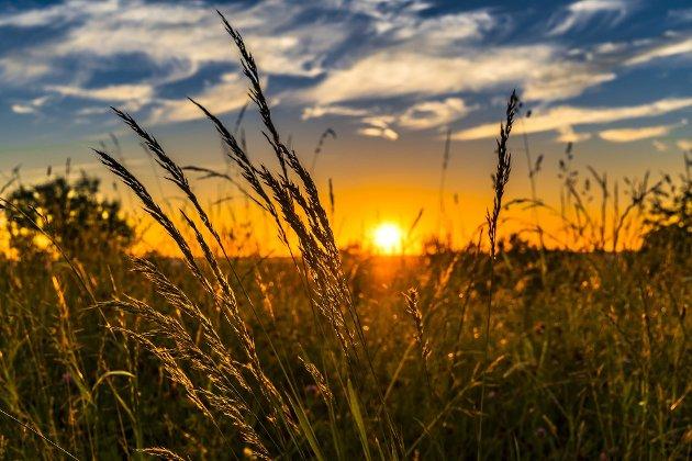 BASIS: - Korn kan brukes til menneskeføde og som kraftfôr til husdyr. Kornet er derfor regnet som en basisvare, skriver Olav Bjotveit.