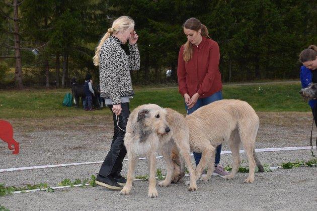 UTSTILLING: Noen av deltakerne i Irsk Ulvehundklubb Norge sin utstilling på Ask.