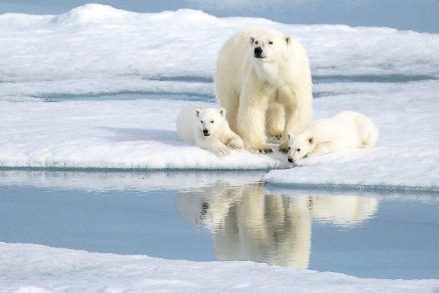 I FARE: Isbjørnen lageret såkaltynglehii snøen der den føder en eller toisbjørnunger. Moreneravhengig av snøen og isen for å lage disse hiene. Uten snø har isbjørnenintet stedå føde,elleret hi ungene kan være i til de blir store nok til å utforskeverdenen.