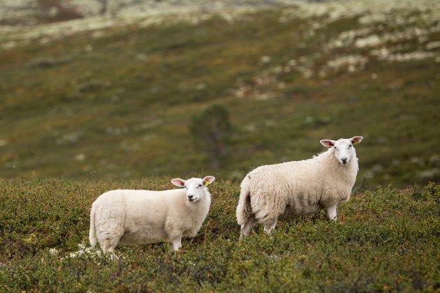 Men da er dere advart. Dere som velger å støtte dette dyreplageriet ved å kjøpe norsk sau og lam. Loven kommer til å bli brutt i år også, skriver innleggsforfatteren.