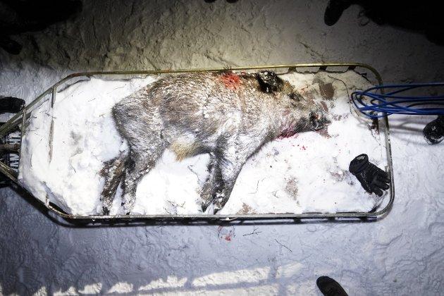 Villsvinet ble skutt ved Grensletta i Melsåsdalen i Verdal, etter at det ble oppdaget av Per Erik Karlsen, som også var den som skjøt dyret.