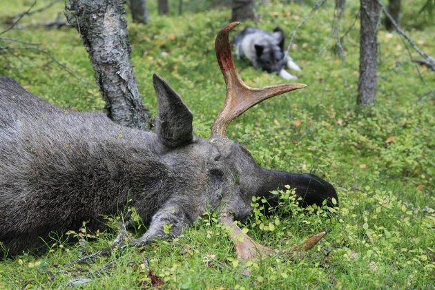¯kt uttak: Valhall elgregion har gtt inn for  ¿ke kvotene for elgjakt med 200 dyr i r. Hallingdalskommunene har ogs ftt innvilget utvidet jakttid, og har s¿kt om vinterjakt.  *** Local Caption *** Fortsetter: En voksen elg  beveger seg normalt 65 meter etter treff i begge lunger.