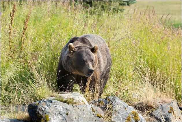 GRIZZLY: Pumpa slår litt ekstra når man er så heldig å få en grizzlybjørn i linsa. Grizzlybjørn er kjent for sine to store pukkellignende kuler på ryggen, sittende mellom skulderbladene.