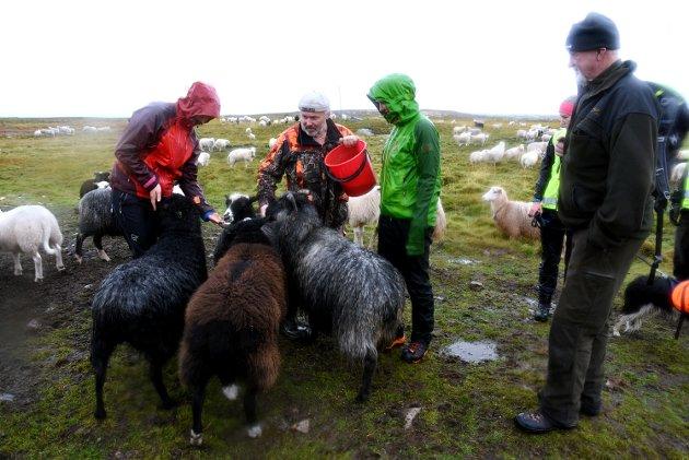 Omkring 2000 sauer har kommet hjem til nå. Lørdag var det felles sanking i Fåvangfjellet.