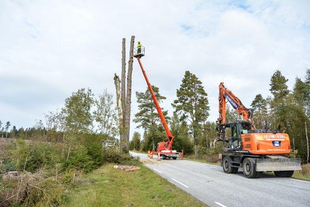 Felling av De tre furuer i Rokke. Tre stammer på sju meter hver ble stående igjen.