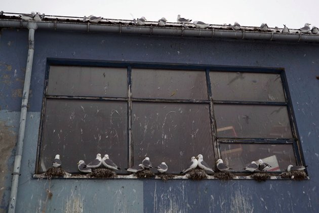 UTRYDNINGSTRUET: Krykkje er en fugleart i måkefamilie. Arten er klassifisert som sterkt truet på Norsk rødliste for arter.
