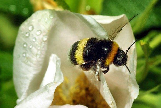 Sett pris på biene og humlene som summer rundt i sommer, de gjør en viktig jobb, skriver artikkelforfatteren.