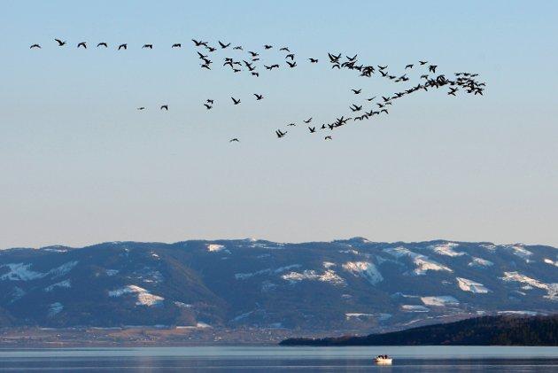 Trekkfugler på vei over Mjøsa - på vei hjem for sommeren.