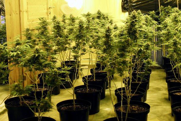 Carl I. Hagen oppfordres til å ta tak i Frps ruspolitikk, blant annet for å avkriminalisere bruk av cannabis.