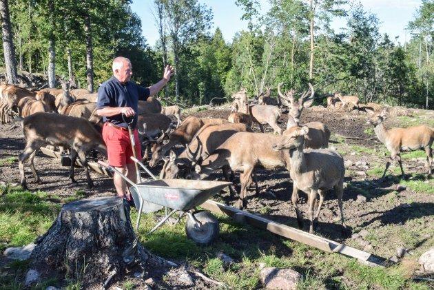 Dyra spiser i all hovedsak bark, nøtter og gress. Men av og til sper Knut Gamkinn på med litt kraftfôr. - Det er en måte å lokke dem på, sier hjortebonden.