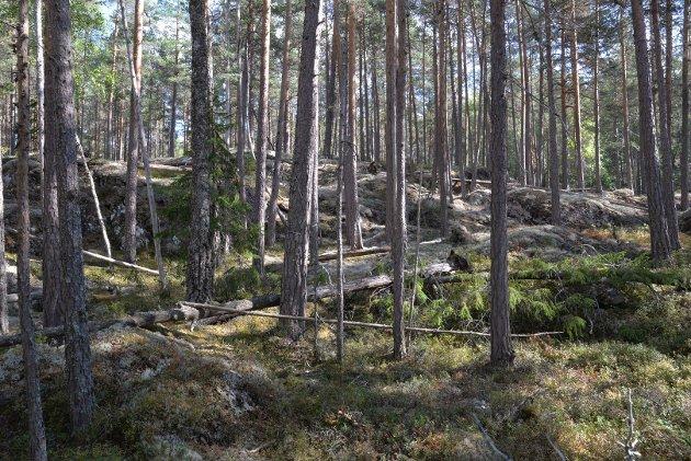 GAMMEL: Gammel fleraldret furuskog med død ved fra Follsjå-området. Foto: BioFokus.